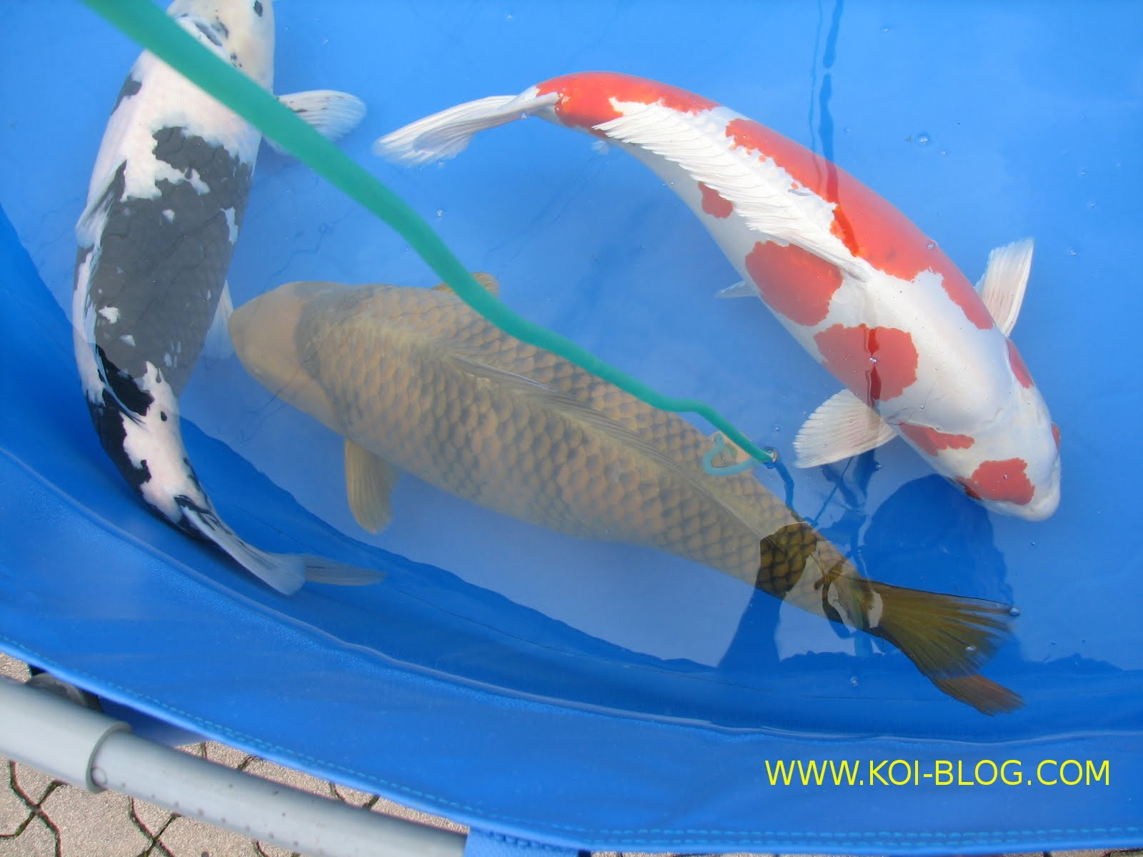 Koi blog chagoi utsuri for Rare koi fish