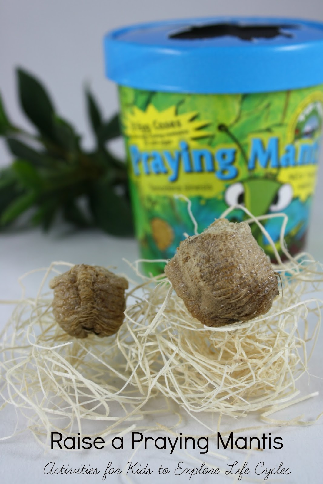 Raise a Praying Mantis | Activities for Kids to Explore Life Cycles