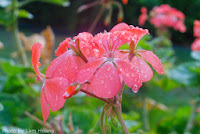 flower, raindrop, photo addict, photosaddict