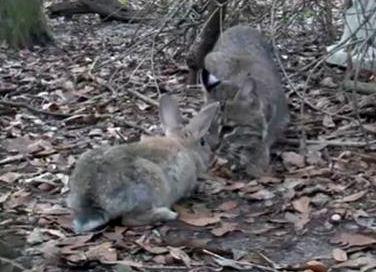 Big Cat Rescue Bobcat Rabbits Rehab