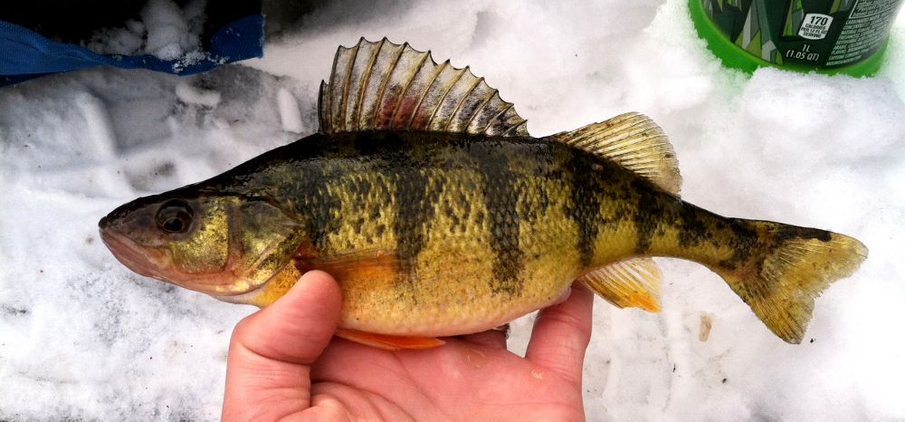 Illinois wisconsin fishing fox chain of lakes area ice for Ice fishing perch