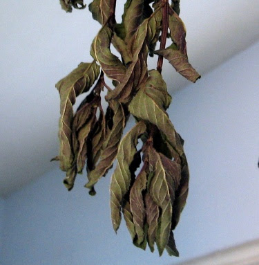 dried spearmint