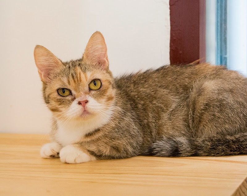 待送養貓咪:小黃,女生,估計2-3歲左右,短腿且體型超迷你