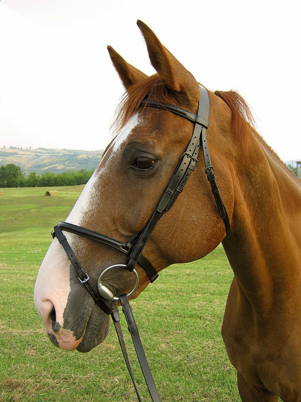 Nose Strap Horse Over The Horses Nose as a