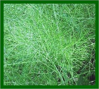 khasiat adas, tanaman obat indonesia, herbal