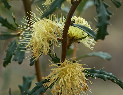 Pingle (Dryandra squarrosa)