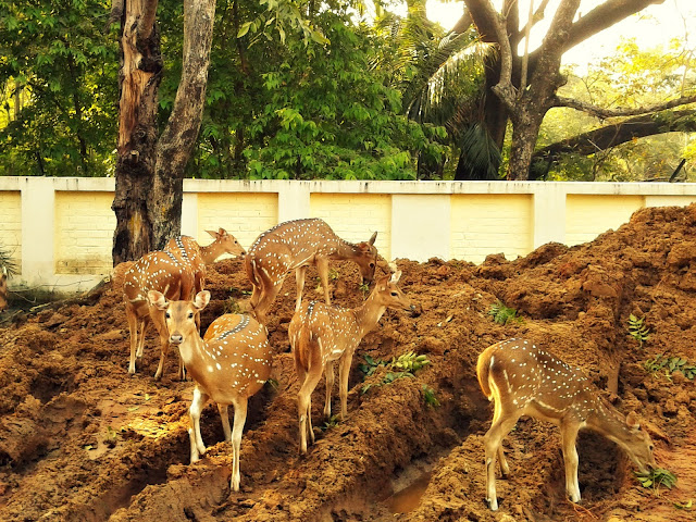 The Deer in the campus IIT Madras