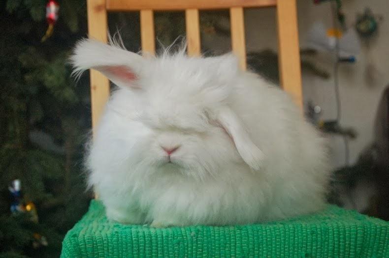 Conejo Angora: los conejito más peludos del Mundo