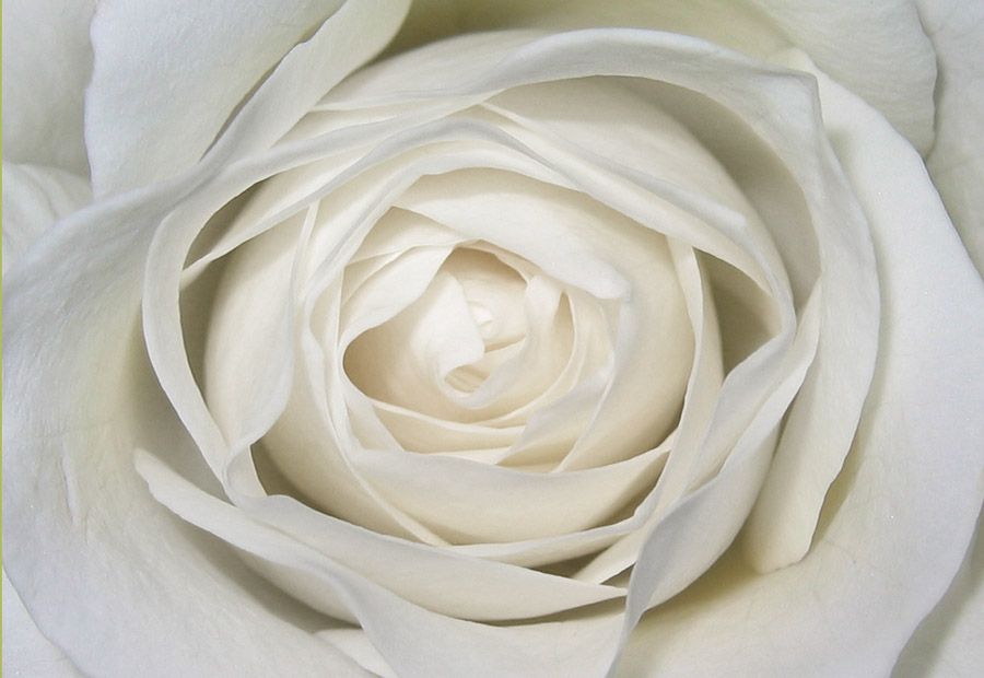 Белые розы сама нежность словно