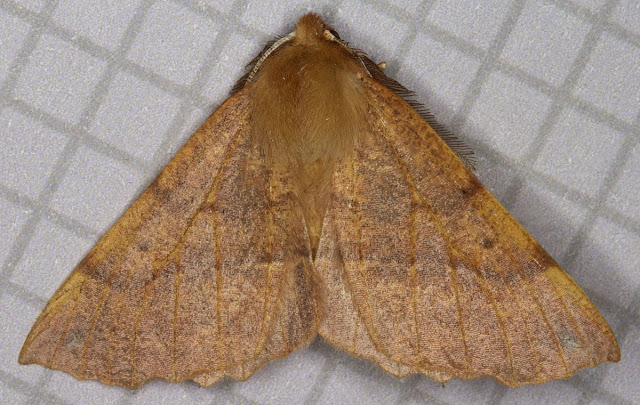 Feathered Thorn, Colotois pennaria.  Geometer.  Moth trap at Farthing Downs, 10 November 2011.
