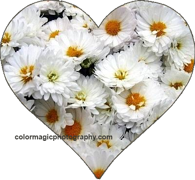 Heart shaped mums