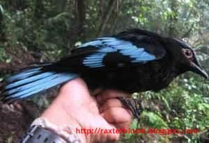 Burung Cochoa beccarii