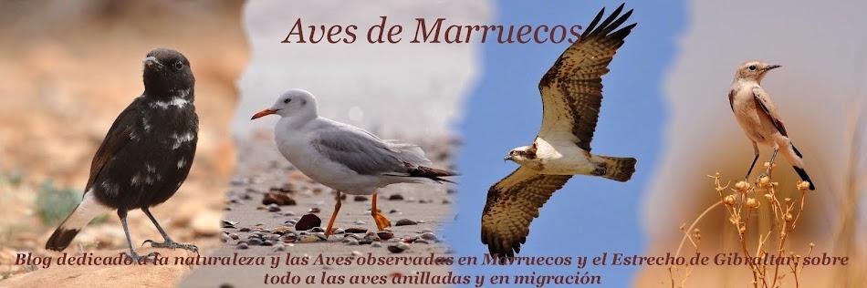 La otra orilla  - Aves de Marruecos