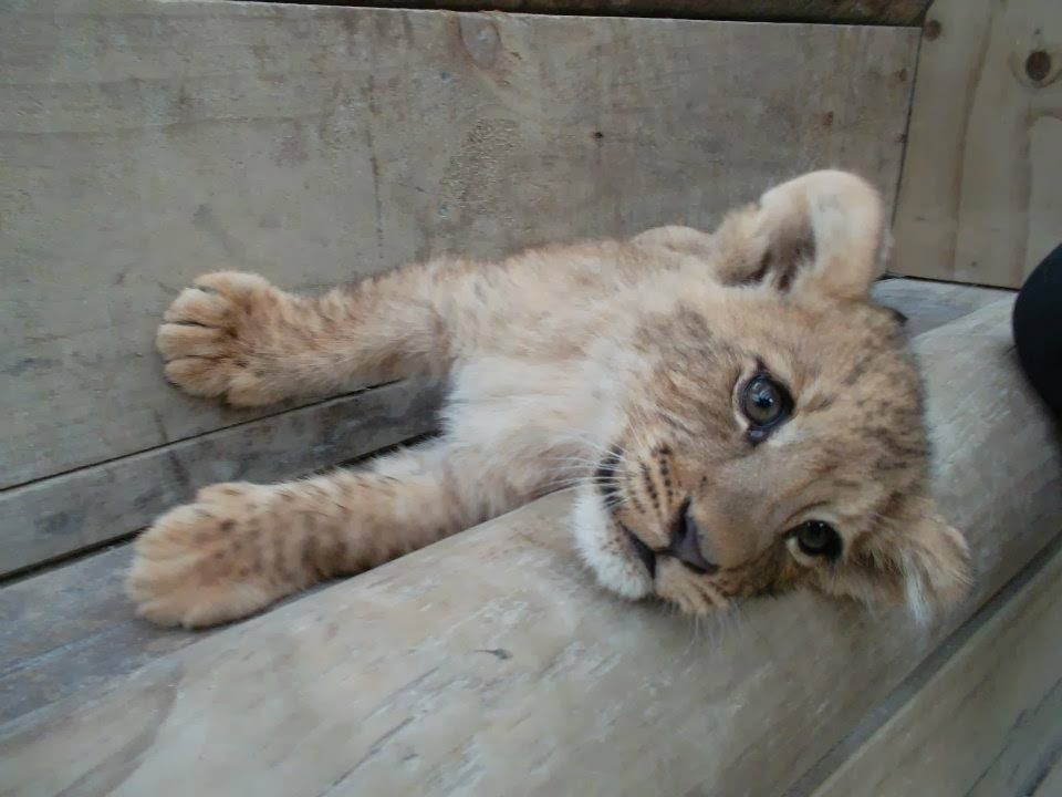 Funny animals of the week - 28 February 2014 (40 pics), cute lion cub picture