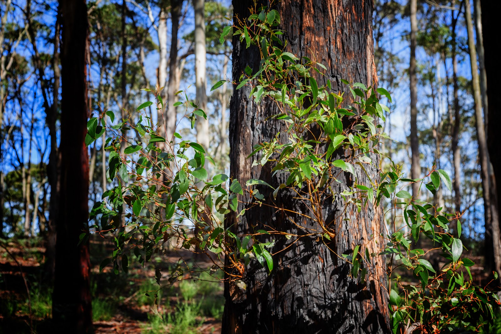 regrowth on burned eucalypt