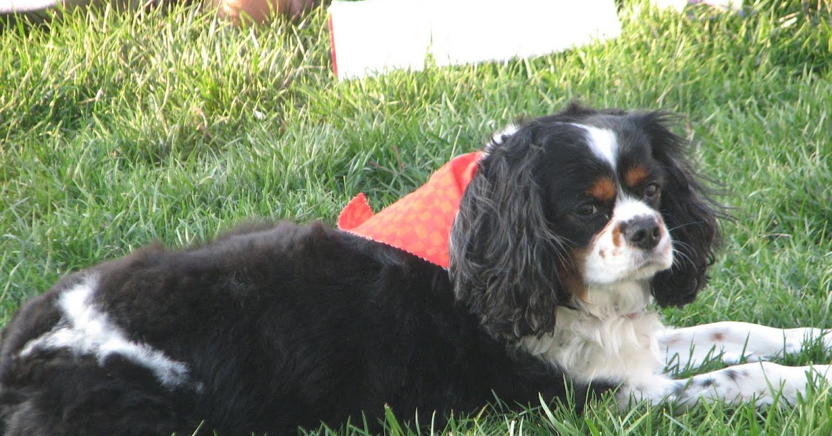 Sammy The Cavalier King Charles Spaniel Summer Haircut