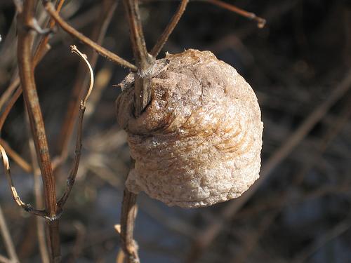Praying Mantis Eggs looking4lilly: ...