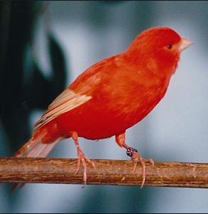 cara beternak burung kenari