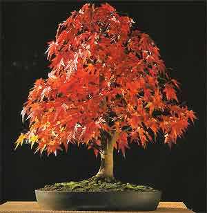 Japanese Maple Cultivars -