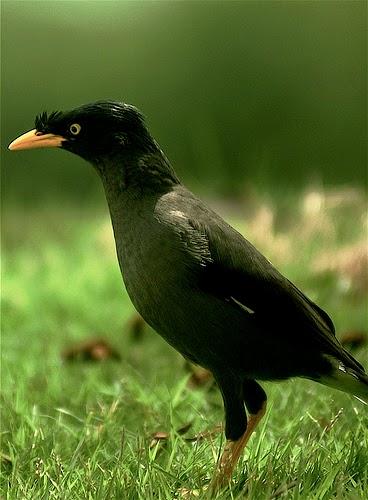 Foto Burung Jalak Kerbau Jantan