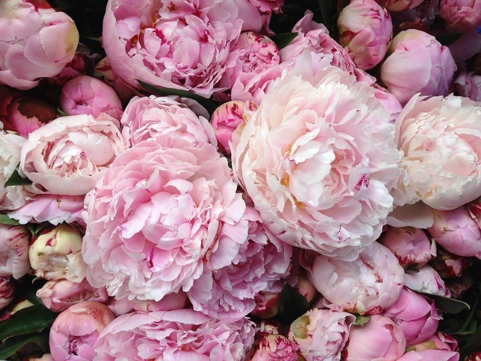 The Pink Peonies lamb & blonde: my dream garden