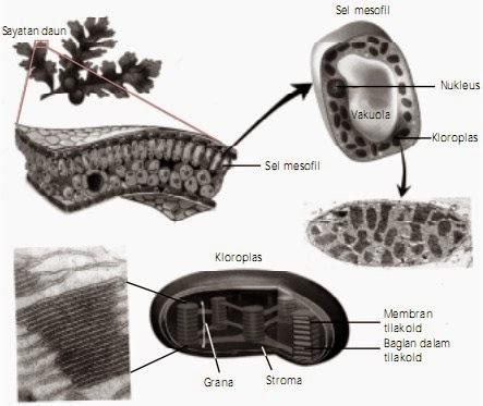 Pengertian dan Proses Fotosintesis pada Tumbuhan