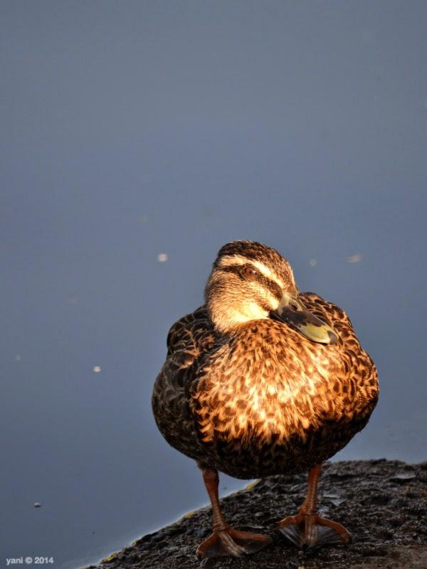 bright duck
