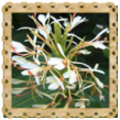 http://eko-swiat.blogspot.com/2014/03/imbirowa-lilja-himalajska-pieknosc-o.html