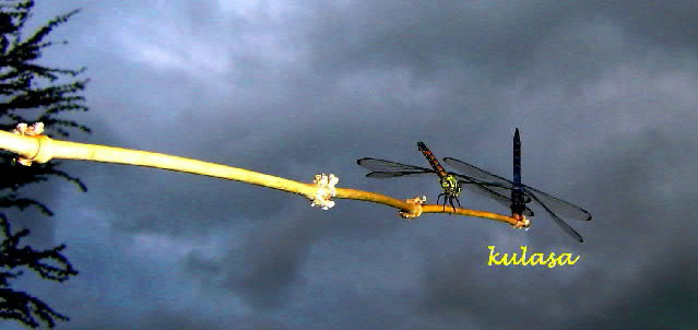 two dragonflies on a twig