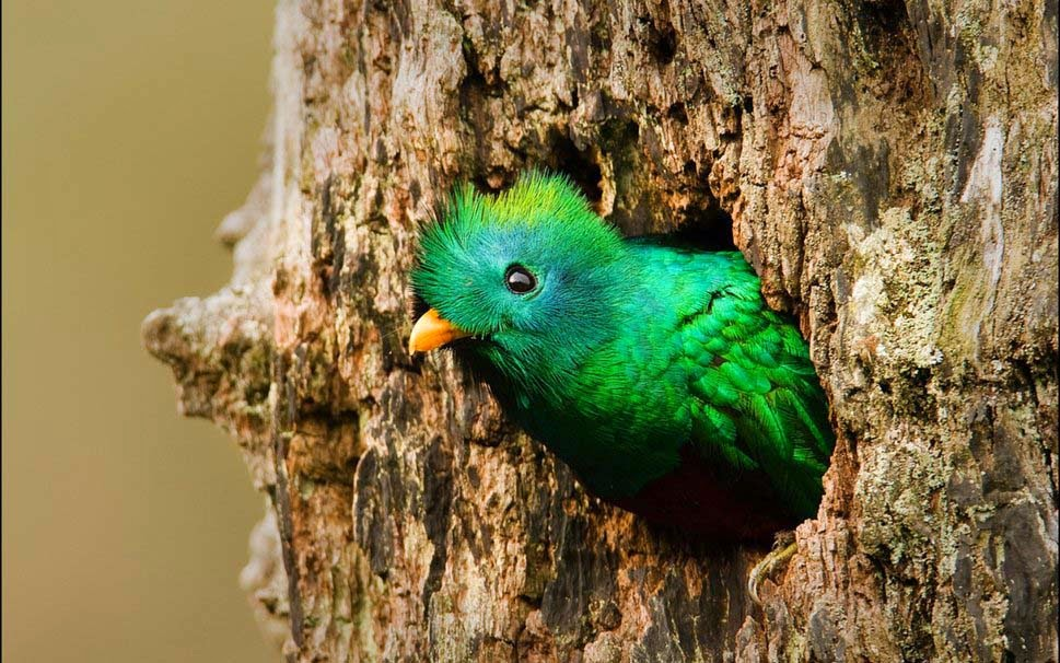 beautiful-resplendent-quetzal-bird