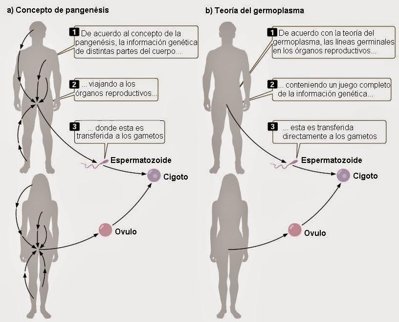 Darwin y la genética mendeliana | Apuntes de Evolución