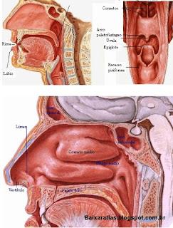 Baixar atlas do sistema respiratório