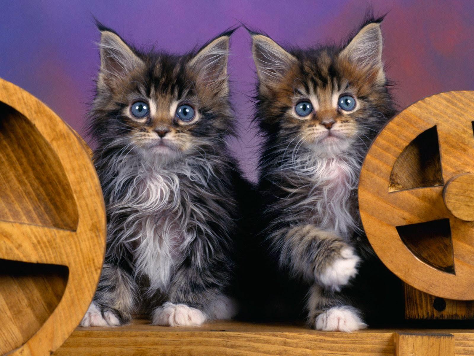 Animal cat Couple HD wallpaper