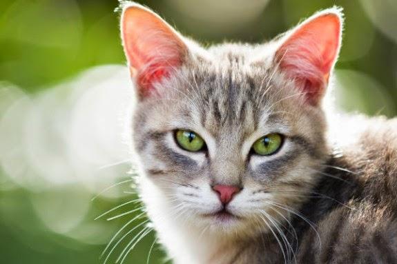 Gato animal historico