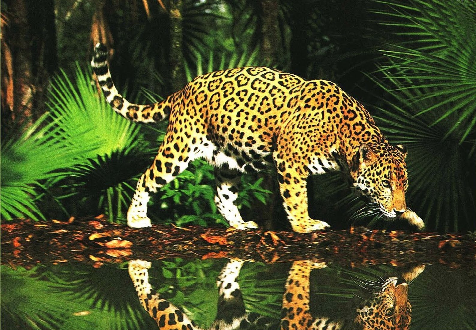 jaguar zviera with Real Forest Animals on Real Forest Animals also Happyandcuteanimals blogspot further Los Dinosaurios Y Su Calentamiento Global likewise View Noir et blanc 2 Other also Leop Snezny.