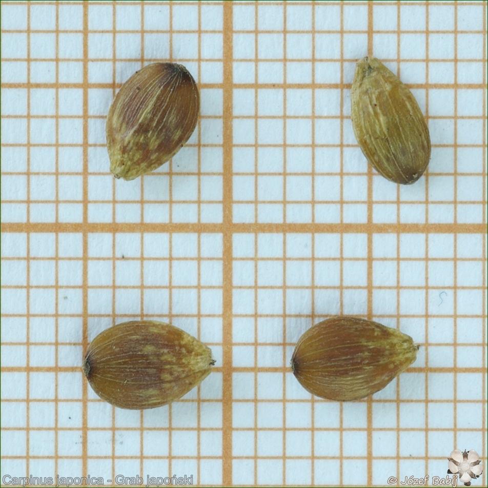 Carpinus japonica seeds - Grab japoński nasiona