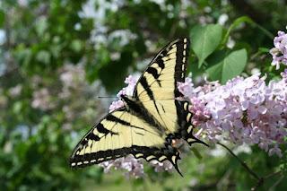 Trout Lake, MI Canadian Tiger Swallowtail