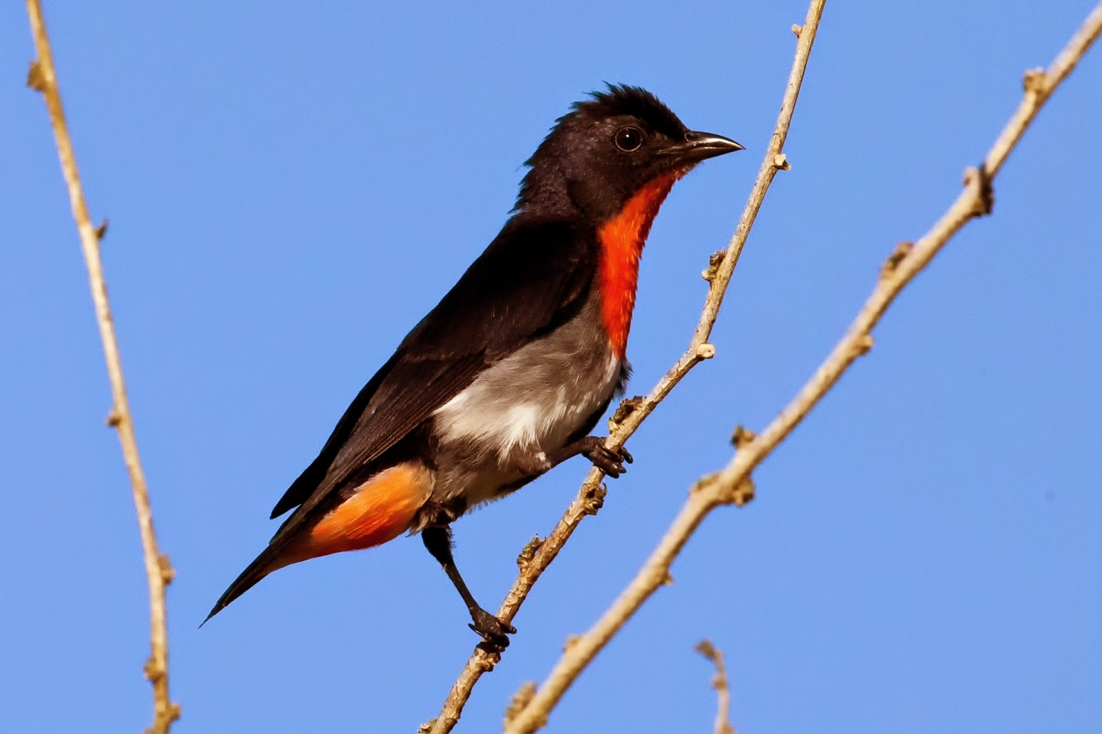 Mistletoe_bird_male_2.jpg