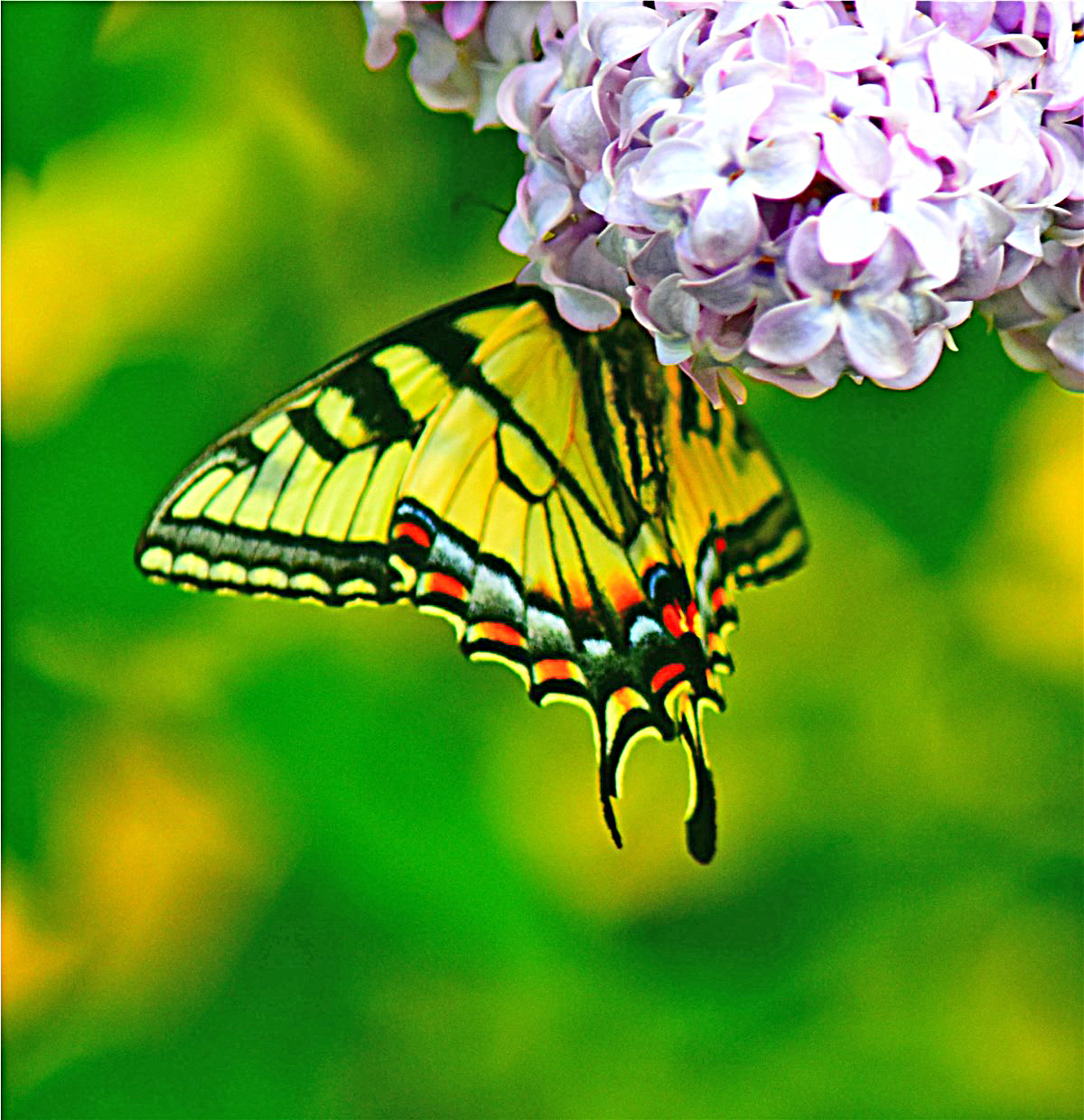 nature tales and camera trails swallowtail butterflies