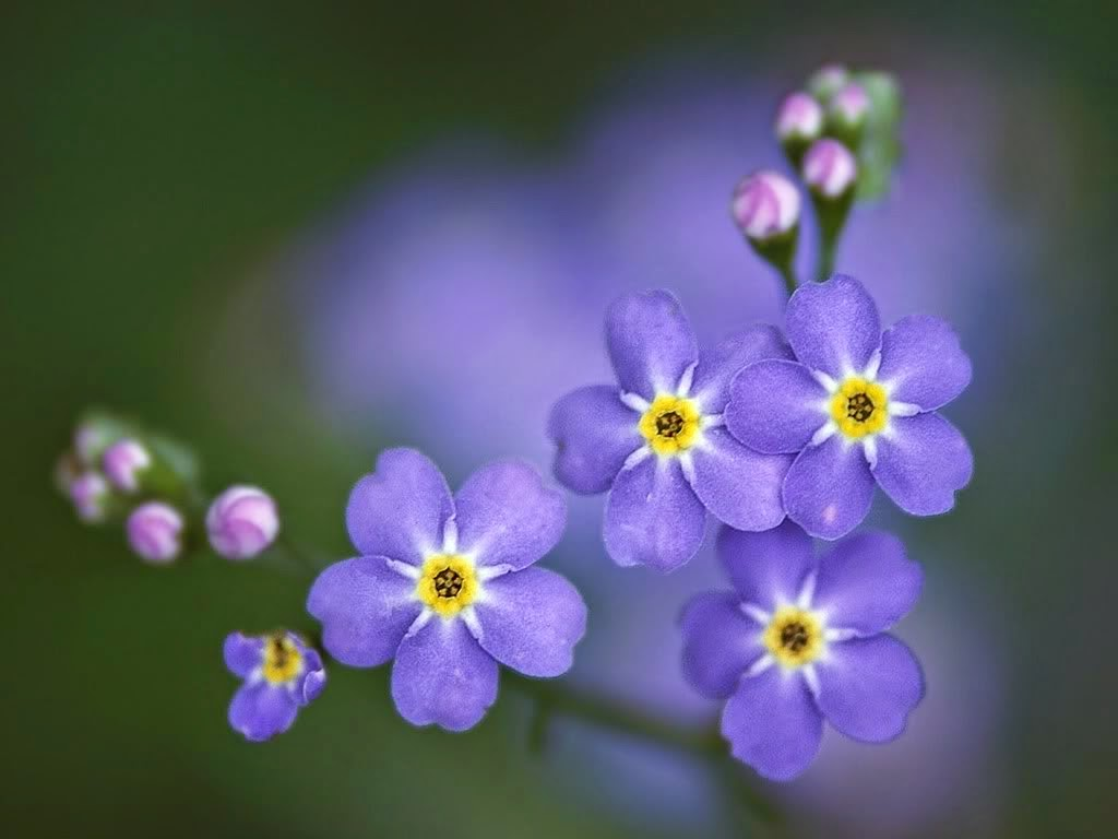 Alzheimer's Forget Me Not