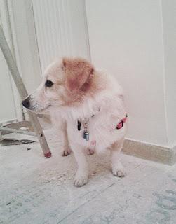 Χάθηκε στον Νέο Κόσμο αρσενικό κοκονάκι, περίπου 2 ετών, 8-10 kg, εμβολιασμένο με microchip.