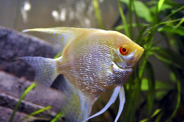 Albino Pearlscale Angelfish Stockphoto