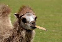 funny camel animal image