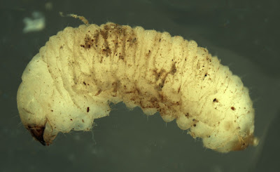 Unidentified broad-nosed weevil larva
