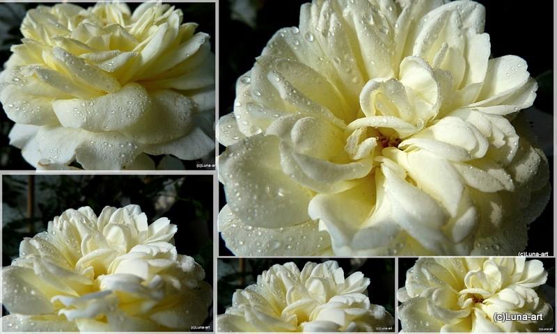 lunas garten rosen vielfalt wenn rosen weinen. Black Bedroom Furniture Sets. Home Design Ideas