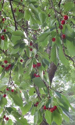 IMAG0315 769959 Todays Gift 6/5/11: The Cherry Tree