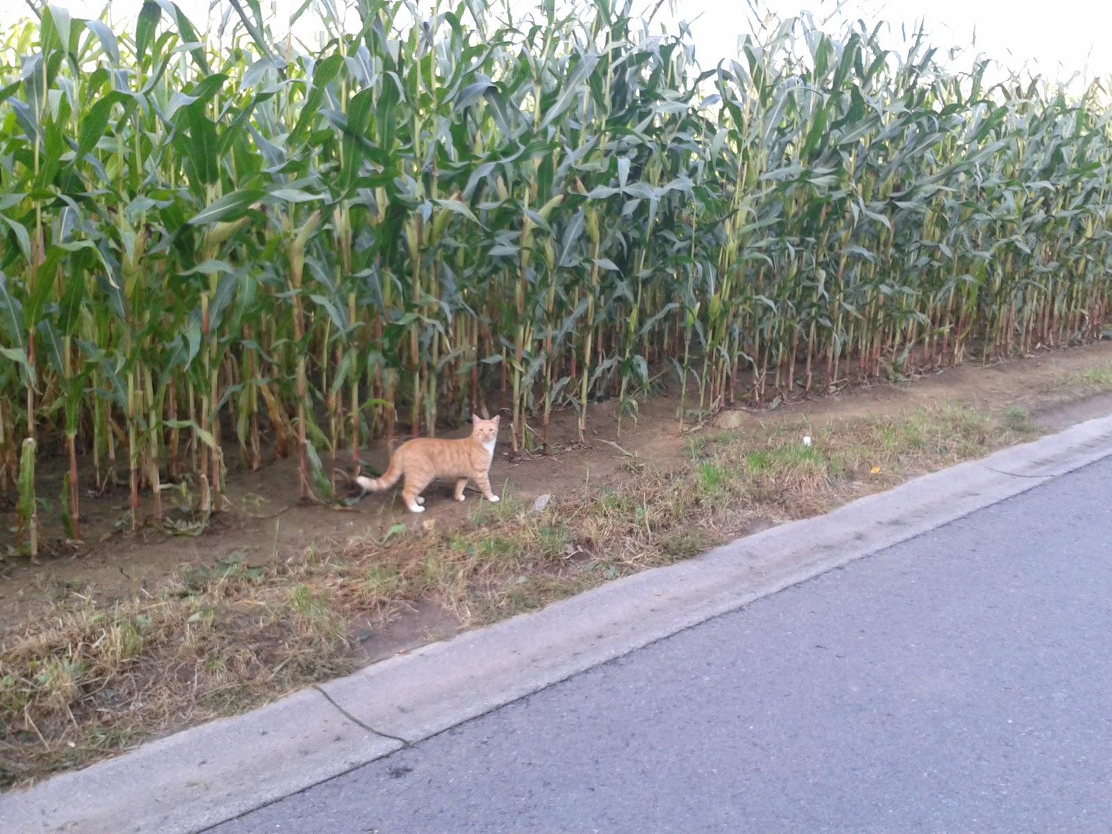 orangie by corn field