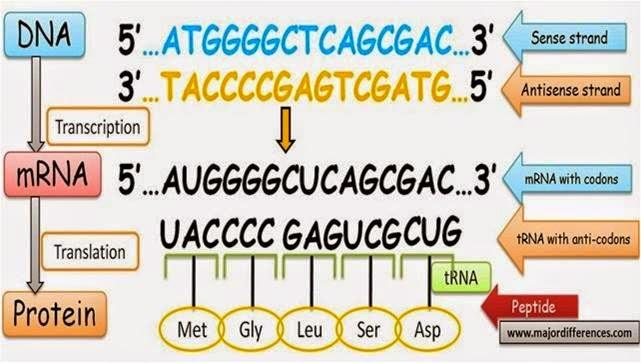 Douzes science deux indikator 30 proses sintesis protein rantai dna yang ditranskripsi disebut sense sementara rantai dna yang tidak ditranskripsi disebut antisense ccuart Images