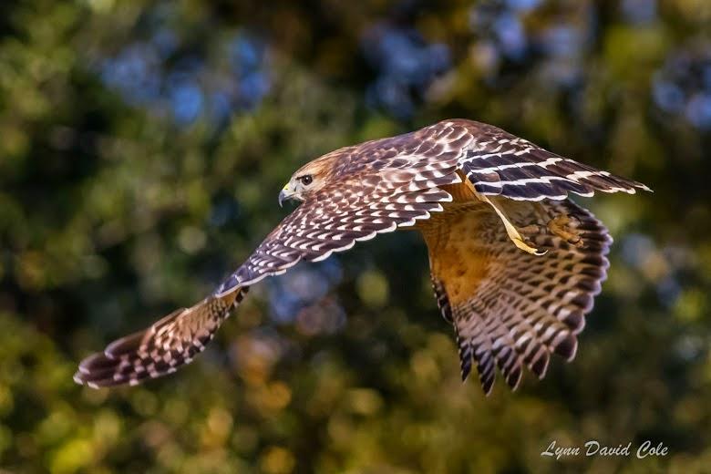 Red-shouldered Hawk - Park Hudson Trail - Bryan, Texas