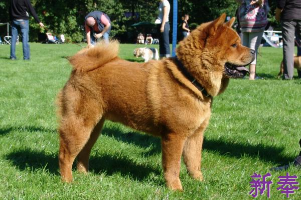 Xin Feng S Blog In English Chow Chow